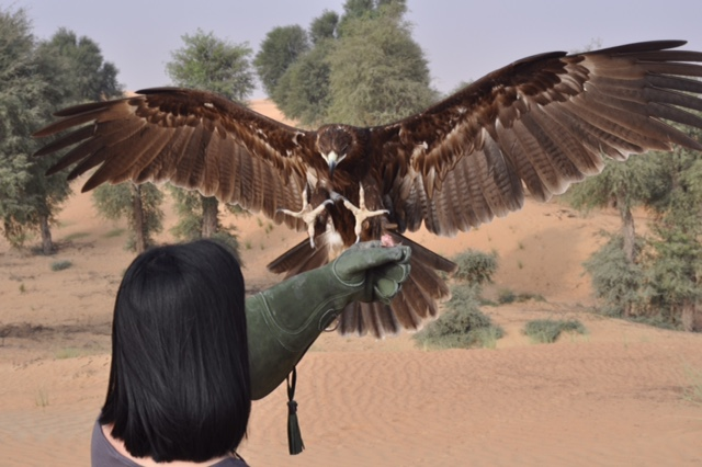 Khaimah greater spotted eagle arriving at Michiko's fist